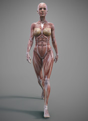 female muscle skeleteon and anatomy