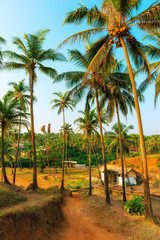 grove with tall coconut trees in India. Tinted.