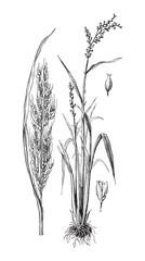 Asian rice (Oryza sativa) / vintage illustration from Meyers Konversations-Lexikon 1897