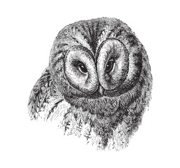 Brown Owl (Strix ulula) / vintage illustration from Meyers Konversations-Lexikon 1897