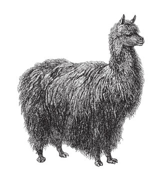 Alpaca (Auchenia Paco) / vintage illustration from Meyers Konversations-Lexikon 1897