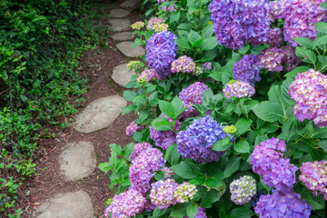 Beautiful blue hydrangeas blossoming next to garden path - Selective focus on flowers