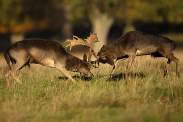 Two male fallow deer fighting during rut in autumn
