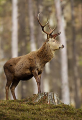 Impressive Red deer stag standing high in the woods