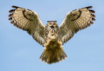 Eurasian Eagle-owl in flight with a catch