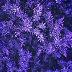 Ultra Violet Spruce Oddziałów Zbliżenie