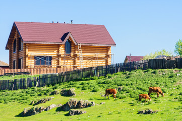 Cattle grazing on a grassy slope near farmhouse in Altai