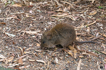 Close up of Australian native animal long-nosed potoroo