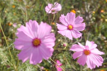 group of purple pink cosmos flower in garden