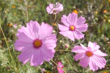 group of purple pink cosmos flower in garden