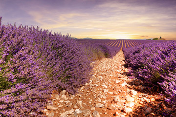 Nice view of lavender fields in Provence (France)