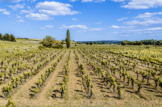 Cultivation of vineyards near Narbonne France