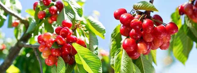 branch of ripe cherries on a tree in the garden