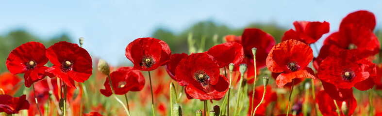 Fotorollo Mohn red poppy flowers in a field