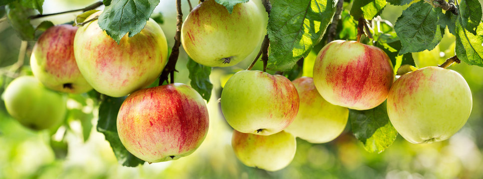 fresh ripe apples on a tree