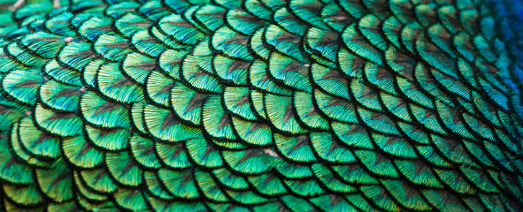 Papiers peints Paon Peacocks, colorful details and beautiful peacock feathers.
