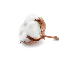 Cotton white dry flower bud isolated on white background