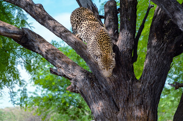 from a tree climbing leopard
