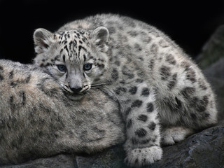 Close up snow leopard cub resting on mother