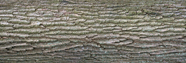 Relief texture of the bark of oak with green moss and blue lichen on it. Panoramic image of a tree bark texture.