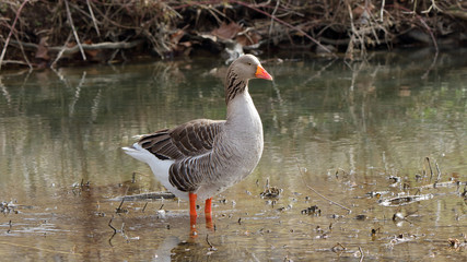Domestic goose standing in shallow water in a creek bed