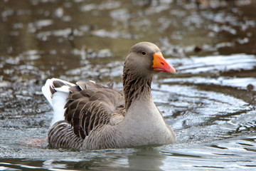 Domestic goose swimming in water surrounded by ripples