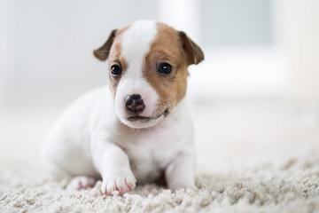 Puppy dog jack russel terrier
