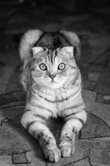 Black-white portrait of a cat of British breed