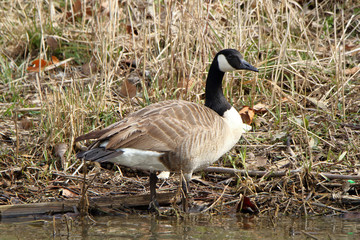 Single Canada Goose standing at the waters edge