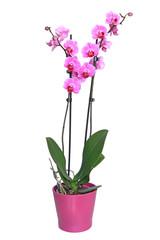 Photo sur Aluminium Orchidée Orchidée phalaenopsis 2 tiges