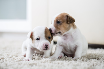 Puppy dog ​​jack russel terrier