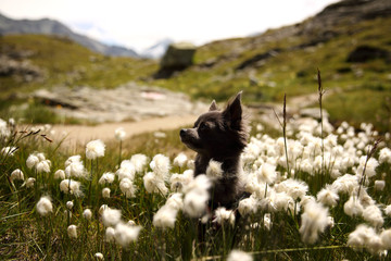 Chihuahua dog sitting in cottongrass field
