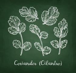 Coriander chalk sketch.