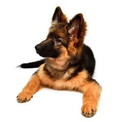 Fluffy German Shepherd dog isolated on white background. Puppy is beautiful, funny and attentive. Portrait, close-up. Sits and looks closely. Good, plush