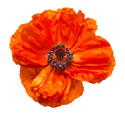 Poppy flower isolated on white background. Flat lay, top view