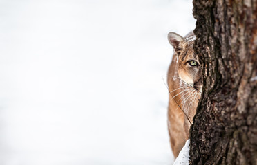 Deurstickers Puma Portrait of a cougar, mountain lion, puma, cougar behind a tree. panther, striking a pose on a fallen tree, Winter scene in the woods