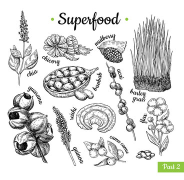Superfood hand drawn vector illustration. Botanical isolated ske