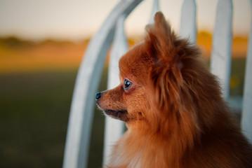 Pomeranian Side Profile
