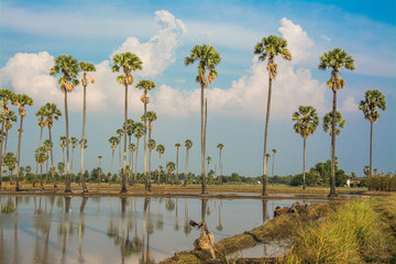 landscape of sugar palm tree in Thailand