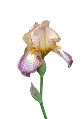 Photo sur Plexiglas Iris iris flower