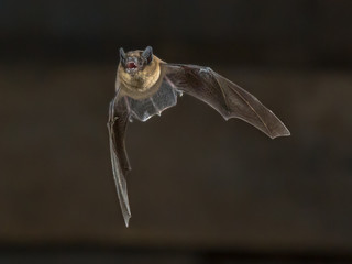 Flying Pipistrelle bat on wooden attic