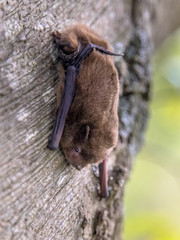 Nathusius pipistrelle bat on tree
