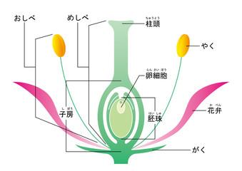 被子植物 図