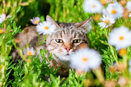 sweet happy tabby cat with yellow eyes walks outdoor in green grass and sniffs white chamomile flowers. front view animal portrait. colorful summer background. adorable pet wallpaper.