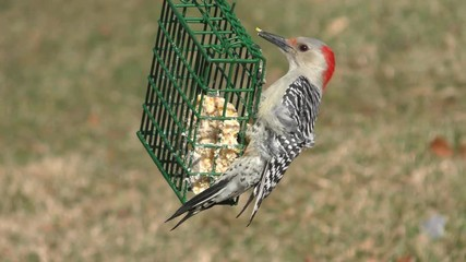Fotoväggar - Female Red-bellied Woodpecker (Melanerpes carolinus) on a suet feeder