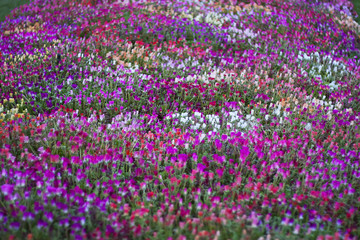 Flowers field. Nature spring, summer background with blooming flowers. Rural landscape with multi colored wild flowers