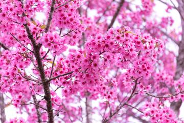 Beautiful of pink cherry flowers Pink Sakura Thailand Loei Province Phu Lom