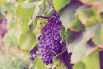 kiść winogron w winnicach