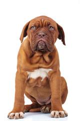 cute french mastiff puppy dog sitting