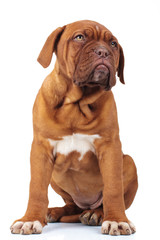 seated french mastiff puppy dog looks away to side